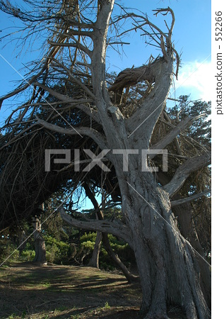 withered tree, old tree, wood 552266