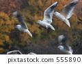 紅嘴鷗 候鳥 鳥兒 555890