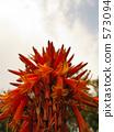 蘆薈 仙人掌 花朵 573094