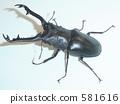 苏门答腊/吉拉法看见杀手(苏门答腊岛生产)♂94毫米(Prosopocoilus giraffa borobudur) 581616
