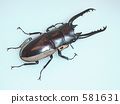 Bisson Saw Palmetto(来自Irian·Wamena)♂70up(Prosopocoilus bison cinctus) 581631