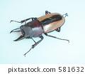 全填料锯末(来自龙目岛)♂(Prosopocoilus fruhstorferi) 581632