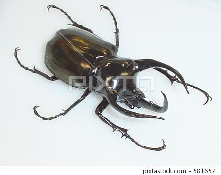 수마트라 코카서스 장수 풍뎅이 (수마트라 산) ♂121mm (Chalcosoma chiron janssensi) 581657