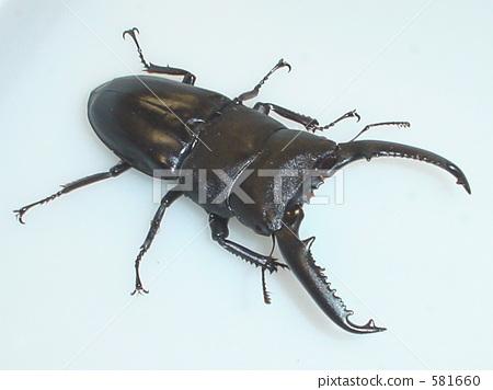 팔라완 오오 넓적 사슴 벌레 (Mt. 간톤 산) ♂95mm (Dorcus titanus palawanicus) 581660