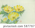 adonis ramosa, perennials, far east amur adonis 587767