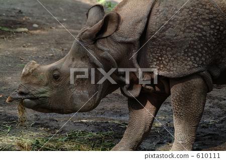 Stock Photo: afraid, frightening, hippopotamus