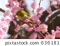 weeping, japanese, apricot 636181