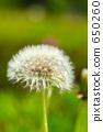 蒲公英 其它植物 植物 650260