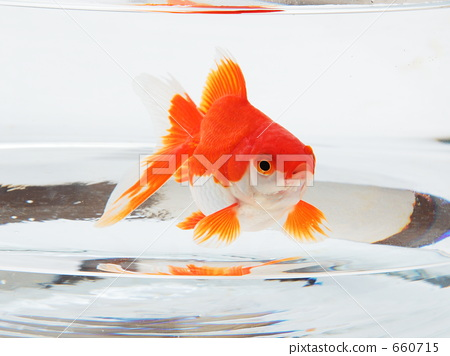 fish, goldfish, gold fish 660715