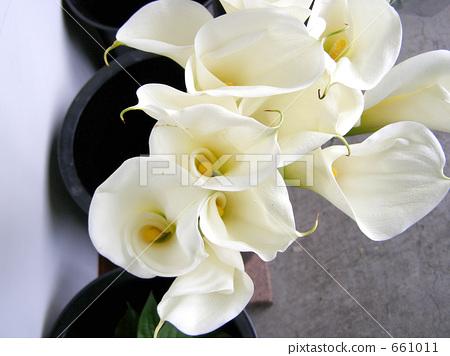 馬蹄蓮 花朵 花 661011
