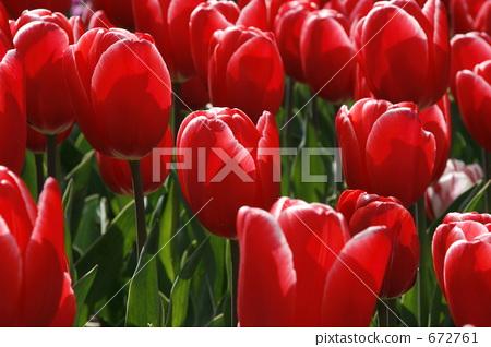 튤립, 꽃, 플라워 672761