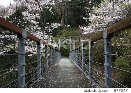 현수교, 왕벚나무, 벚꽃나무 677047