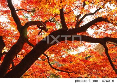 ใบไม้เปลี่ยนสี·อุทยานอนุสรณ์โชวะ 678016