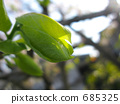 Persimmon leaves that bud new 685325