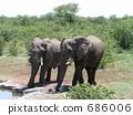 納米比亞,非洲大象飲用水 686006