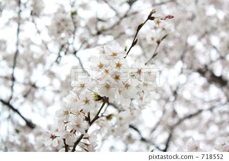 가지, 나뭇가지, 왕벚나무 718552