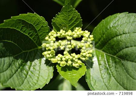 hydrangea, bud, bloom 719898