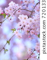 yoshino cherry tree, cherry blossom, cherry tree 720133