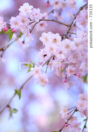 yoshino cherry tree, cherry blossom, cherry tree 720133