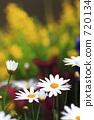 marguerite, flower garden, flower field 720134