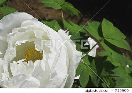 牡丹 花朵 花卉 730900