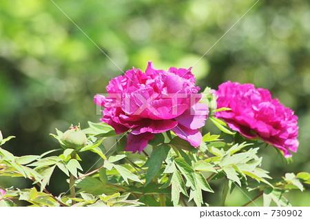 牡丹 花朵 花卉 730902
