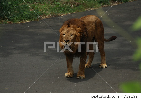 The cry of the male lion (Tama Animal Park) 738158
