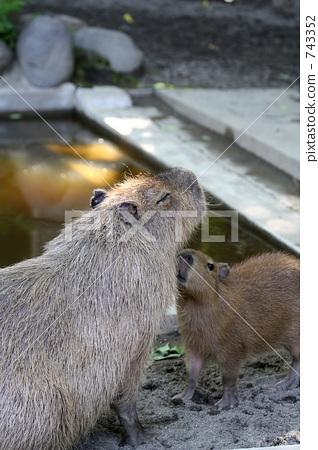 Capybara ผู้ปกครองและเด็ก 743352
