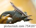 lizard, a lizard, triceratops 754187