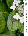 수국의 잎에 달팽이 763867