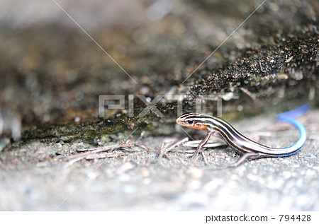 Blue tail lizard 794428