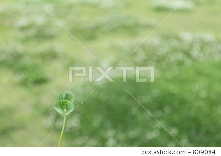 다섯 잎 클로버 809084