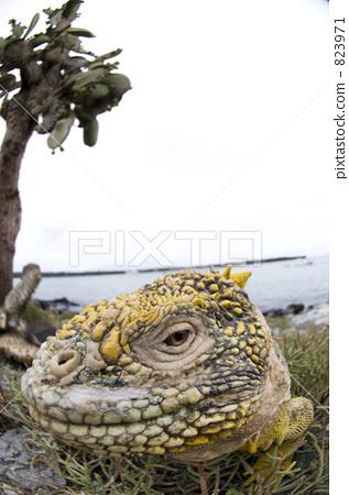 iguana, one small animal, simple (substance) 823971