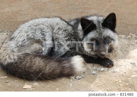 銀狐 831486