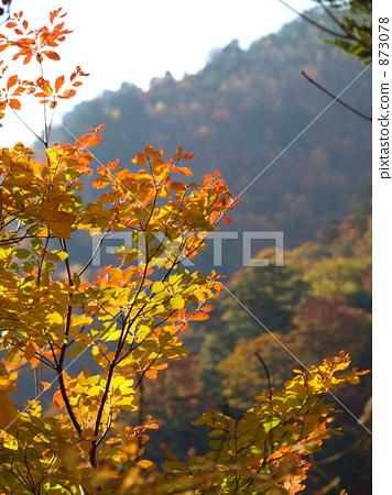 楓樹 紅楓 楓葉 873078