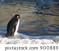 Iwatobi penguins looking at the surface of the water 900889