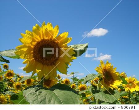 Blue sky and sunflower 900891