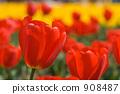 튤립 꽃 908487