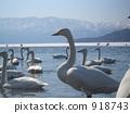 Swan lake gathering lake 918743