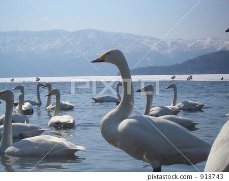 백조 모이는 호수 918743
