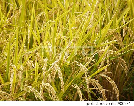 結果的水稻穗 980285
