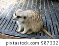 미어캣, 앉음, 앉은 자세 987332