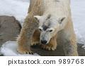 bear, bears, polar 989768
