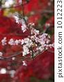冷樱桃树 1012223