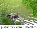 spot-billed duck, wild bird, parenthood 1062075