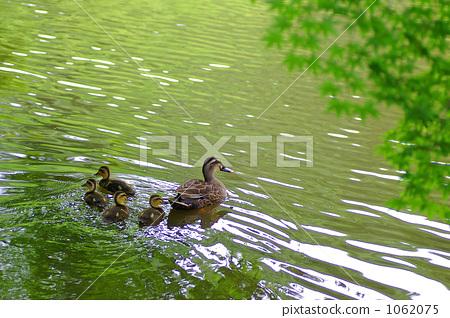 spot-billed duck, wild bird, parenthood 1062075