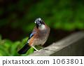 eurasian jay, wild bird, corvidae 1063801