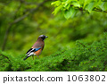 eurasian jay, wild bird, green leaf 1063802