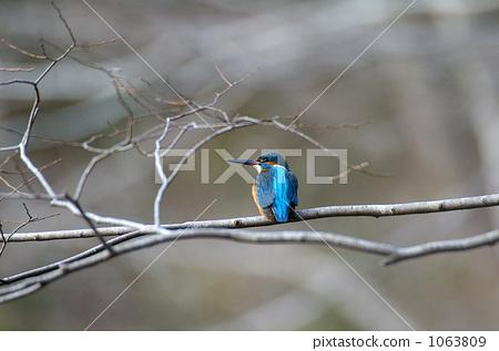 kingfisher, wild bird, overcast 1063809