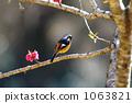 redstart, wild bird, Japanese apricot 1063821